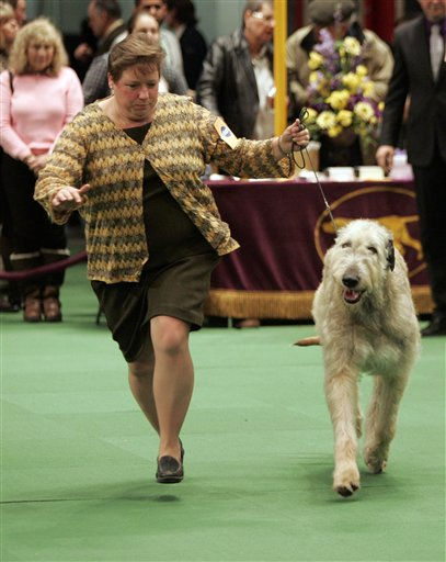 "<div class=""meta ""><span class=""caption-text "">A Irish wolfhound is judged during the first day of the Westminster Dog Show Monday, Feb. 14, 2011 at Madison Square Garden in New York.   (AP Photo/Jeff Christensen) (AP Photo/ Jeff Christensen)</span></div>"