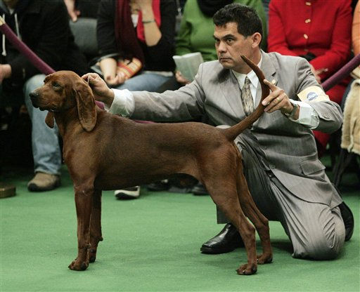"<div class=""meta ""><span class=""caption-text "">A redbone coonhound is judged during the first day of the Westminster Dog Show  Monday, Feb. 14, 2011 at Madison Square Garden in New York.   (AP Photo/Jeff Christensen) (AP Photo/ Jeff Christensen)</span></div>"