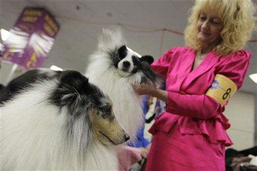 Jane Hammett grooms her shetland sheep dogs Reggie, left, and Bucky backstage during the 135th Westminster Kennel Club Dog Show Monday, Feb. 14, 2011 at Madison Square Garden in New York.  &#40;AP Photo&#47;Mary Altaffer&#41; <span class=meta>(AP Photo&#47; Mary Altaffer)</span>