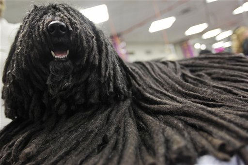 Bear, a 7 year old  Puli from Kalamazoo, Mich. waits backstage after competing in  the 135th Westminster Kennel Club Dog Show Monday, Feb. 14, 2011 at Madison Square Garden in New York.  &#40;AP Photo&#47;Mary Altaffer&#41; <span class=meta>(AP Photo&#47; Mary Altaffer)</span>