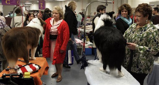 "<div class=""meta ""><span class=""caption-text "">Dogs get groomed during the first day of the Westminster Dog Show  Monday, Feb. 14, 2011 at Madison Square Garden in New York.   (AP Photo/Jeff Christensen) (AP Photo/ Jeff Christensen)</span></div>"