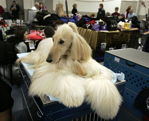 Manny an Afghan hound waits backstage during the first day of the Westminster Dog Show  Monday, Feb. 14, 2011 at Madison Square Garden in New York.   &#40;AP Photo&#47;Jeff Christensen&#41; <span class=meta>(AP Photo&#47; Jeff Christensen)</span>