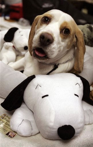 Maxxim a beagle rests backstage during the first day of the Westminster Dog Show  Monday, Feb. 14, 2011 at Madison Square Garden in New York.   &#40;AP Photo&#47;Jeff Christensen&#41; <span class=meta>(AP Photo&#47; Jeff Christensen)</span>