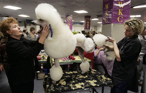 Desert Turquise Elijah a standard poodle yawns as it is groomed backstage during the first day of the Westminster Dog Show  Monday, Feb. 14, 2011 at Madison Square Garden in New York.   &#40;AP Photo&#47;Jeff Christensen&#41; <span class=meta>(AP Photo&#47; Jeff Christensen)</span>