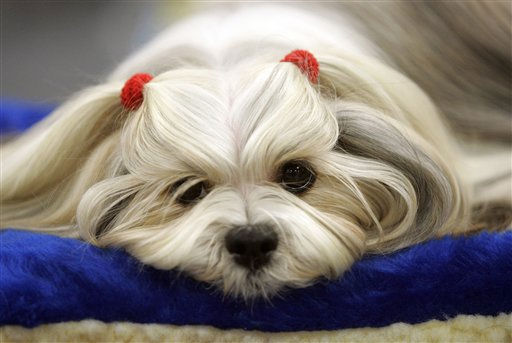 "<div class=""meta ""><span class=""caption-text "">Penny from Heaven, a lhasa apso waits to be judged during the first day of the Westminster Dog show  Monday, Feb. 14, 2011 at Madison Square Garden in New York.   (AP Photo/Jeff Christensen) (AP Photo/ Jeff Christensen)</span></div>"