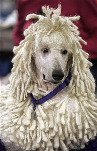 "<div class=""meta ""><span class=""caption-text "">Parker, a standard poodle, waits to be judged during the first day of the Westminster Dog show Monday, Feb. 14, 2011 at Madison Square Garden in New York.   (AP Photo/Jeff Christensen) (AP Photo/ Jeff Christensen)</span></div>"