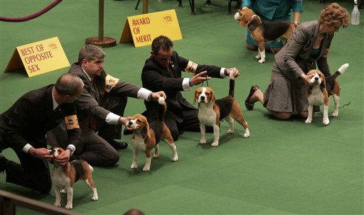 "<div class=""meta ""><span class=""caption-text "">A group of beagles wait to be judged during the first day of the Westminster Dog Show Monday, Feb. 14, 2011 at Madison Square Garden in New York.   (AP Photo/Jeff Christensen) (AP Photo/ Jeff Christensen)</span></div>"