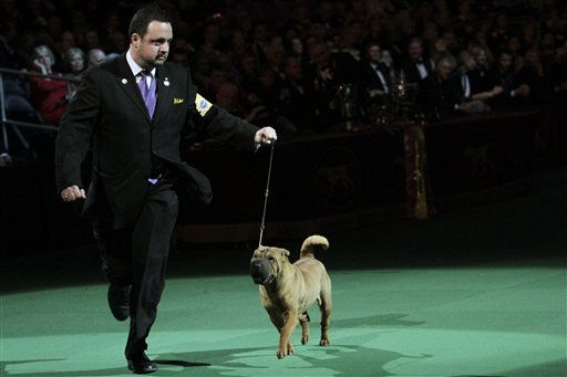 Chinese shar-pei Jayne competes in the ring during the135th Westminster Kennel Club Dog Show on Tuesday, Feb. 15, 2011, at Madison Square Garden in New York. (AP Photo/Mary Altaffer)