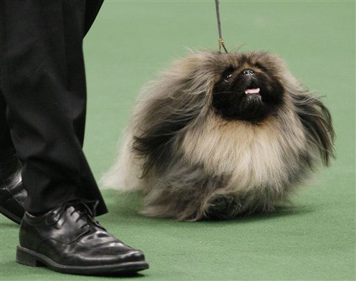 Malachy, a Pekingese, competes in the ring for best in show in the 135th Westminster Kennel Club Dog Show Tuesday, Feb. 15, 2011, at Madison Square Garden in New York. Hickory, a Scottish deerhound, won best in show (AP Photo/Frank Franklin II)