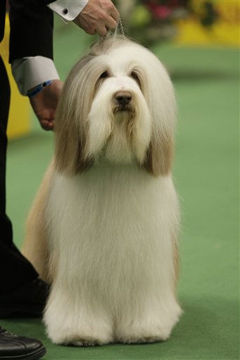 Mister Baggins, a bearded collie, competes in the ring for best in show in the 135th Westminster Kennel Club Dog Show on Tuesday, Feb. 15, 2011, at Madison Square Garden in New York. Hickory, a Scottish deerhound, won best in show. (AP Photo/Frank Franklin II)