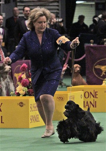 "<div class=""meta ""><span class=""caption-text "">Beckham, a black cocker spaniel, competes in the ring at the 135th Westminster Kennel Club Dog Show on Tuesday, Feb. 15, 2011, at Madison Square Garden in New York. Beckham won the sporting group. (AP Photo/Mary Altaffer)  </span></div>"