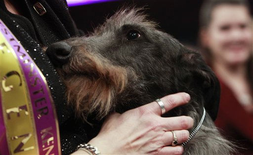 Hickory, a Scottish deerhound, is held after winning best in show at the 135th Westminster Kennel Club Dog Show, Tuesday, Feb. 15, 2011, at Madison Square Garden in New York. (AP Photo/Frank Franklin II)