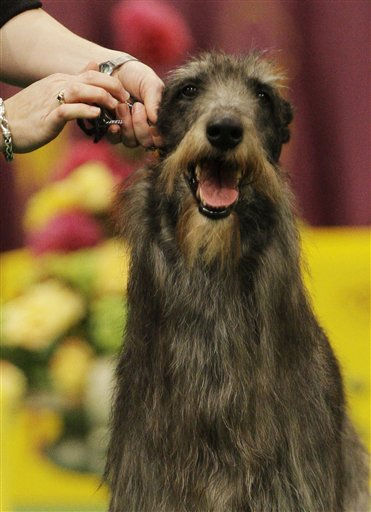 Hickory, a Scottish deerhound, competes in the ring for best in show in the 135th Westminster Kennel Club Dog Show Tuesday, Feb. 15, 2011, at Madison Square Garden in New York. Hickory won the title. (AP Photo/Frank Franklin II)