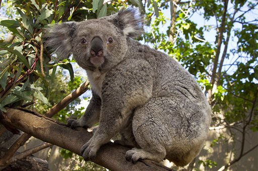 In this photo provided by the San Diego Zoo, a Queensland koala named Yabber crawls to her lunch with her 7-month-old joey, or baby, in her pouch at the zoo Thursday, Feb. 17, 2011. &#40;AP Photo&#47;San Diego Zoo, Ken Bohn&#41; NO SALES <span class=meta>(AP Photo&#47; Ken Bohn)</span>