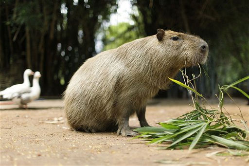 A capybara, also known as Carpincho in Spanish, eats a plant at the zoo in Asuncion, Paraguay, Friday Feb. 18, 2011. The capybara, Hydrochoerus Hydrochaeris, is a semi-aquatic rodent of South America. &#40;AP Photo&#47;Jorge Saenz&#41; <span class=meta>(AP Photo&#47; Jorge Saenz)</span>