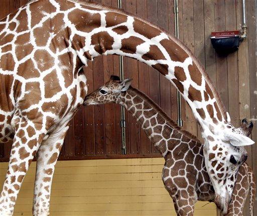 Das vierzehn Tage alte Netzgiraffenjungtier Magoma &#40;r.&#41; steht am Dienstag &#40;22.02.11&#41; in seinem Gehege im Zoo in Koeln vor seiner Mutter Koobi. Seit April 1994 haelt und zuechtet der Koelner Zoo Netzgiraffen &#40;Giraffa camelopardalis reticulata&#41;. Magoma ist laut Angaben des Zoos das 21. Jungtier. Foto: Hermann J. Knippertz&#47;dapd <span class=meta>(Photo&#47;Hermann J. Knippertz)</span>