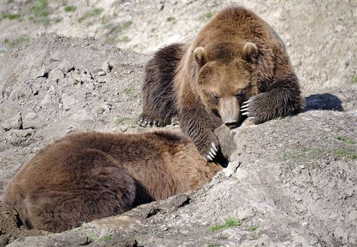 Brown bears dig a hole at the zoo in Gelsenkirchen, Germany, Tuesday, Feb. 22, 2011. Temperatures went down minus 5 degrees Celsius, the forecast predicts sunny but ice cold winter weather for the week. &#40;AP Photo&#47;Martin Meissner&#41; <span class=meta>(AP Photo&#47; Martin Meissner)</span>
