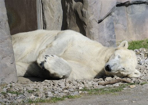 A polar bear sleeps in the cold sun in Gelsenkirchen, Germany, Tuesday, Feb. 22, 2011. Temperatures went down minus 5 degrees Celsius, the forecast predicts sunny but ice cold weather forthe next days. &#40;AP Photo&#47;Martin Meissner&#41; <span class=meta>(AP Photo&#47; Martin Meissner)</span>