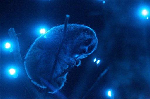 Ein Zwergplumplori &#40;Nycticebus pygmaeus&#41; turnt am Sonntag &#40; 27.02.11&#41; durch die Aeste der neu eingerichteten Nachttierabteilung im Zoo Augsburg. Das nachtaktive Tier ist urspruenglich in den Regenwaeldern Suedostasiens beheimatet. Der Zoo wird die Tiere im tagsueber dunklen und nachts beleuchteten Gehege zeigen. Die Nachttierabteilung soll Anfang Maerz fuer die Zoobesucher geoeffnet werden. Foto: Annette Zoepf&#47;dapd <span class=meta>(Photo&#47;Annette Zoepf)</span>