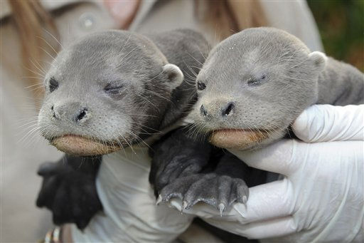 In this photo provided by Zoo Miami, a litter of two Giant River Otter pups are held during their neonatal exam on Wednesday, March 2, 2011 at Zoo Miami in Miami, Fla.  The male, left, and female pups were born at the zoo on Jan. 31, 2011, and are expected to open their eyes within the next week and begin to learn how to swim.  &#40;AP Photo&#47;Zoo Miami, Ron Magill&#41;  NO SALES <span class=meta>(AP Photo&#47; Ron Magill)</span>