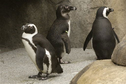"<div class=""meta ""><span class=""caption-text "">African penguins walk in the new Penguin Pointe exhibit at the Little Rock Zoo in Little Rock, Ark., Saturday, March 5, 2011. (AP Photo/Danny Johnston) (AP Photo/ Danny Johnston)</span></div>"