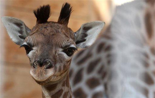 """<div class=""""meta """"><span class=""""caption-text """">Ein noch namenloses weibliches Giraffenbaby steht am Mittwoch (09.03.11 ) im Zoo in Augsburg in seiner Box. Das Giraffenbaby kam in der Nacht zum Donnerstag ( 03.03.11 ) zur Welt und durfte am Mittwoch erstmals ins Freigehege. Foto: Annette Zoepf/dapd (Photo/Annette Zoepf)</span></div>"""