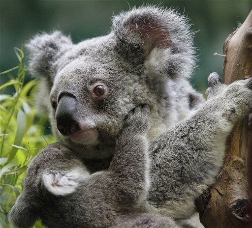 A female Queensland joey koala clings to its mother Zakary Thursday, March 10, 2011, at the San Francisco Zoo. This is the first koala birth at the SF Zoo since 2000. The new joey began to emerge from her pouch in January. She will make her public debut at the zoo next week. &#40;AP Photo&#47;Ben Margot&#41; <span class=meta>(AP Photo&#47; Ben Margot)</span>