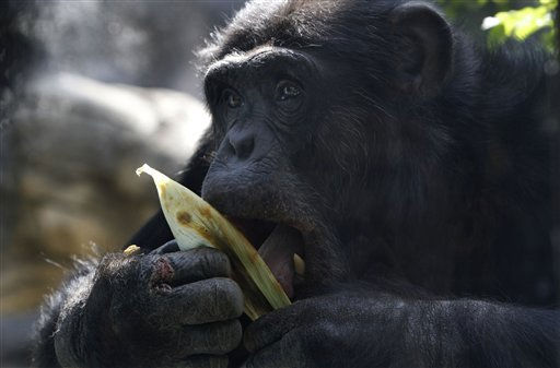 Lio, a male chimpanzee, eats inside his enclosure at the Chapultepec Zoo in Mexico City, Thursday March 10, 2011. Lio is expected to mate with Aby and Kenia, not shown, during a five-year &#34;reproductive loan&#34; from the Wameru Zoo Park in Mexico&#39;s Queretaro state. &#40;AP Photo&#47;Marco Ugarte&#41; <span class=meta>(AP Photo&#47; Marco Ugarte)</span>
