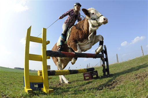 Regina Mayer jumps with her cow Luna over a hurdle in Laufen, southern Germany, on Tuesday, March 29, 2011. When Regina Mayer&#39;s parents dashed her hopes of getting a horse, the 15-year-old didn&#39;t go sulk in her room. Instead, the resourceful teen turned to a cow called Luna to make her dream come true. Hours of training and tons of treats, cajoling and caresses later, the results are impressive. Not only do the two regularly go on long rides together through the picturesque southern German countryside, they even do jumps over a homemade hurdle of beer crates and painted logs. &#40;AP Photo &#47; Kerstin Joensson&#41; <span class=meta>(AP Photo&#47; Kerstin Joensson)</span>