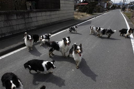 Dogs wonder around a town of Minami Soma, inside the deserted evacuation zone established for the 20 kilometer radius around the Fukushima Dai-ichi nuclear complex in northeastern Japan Thursday, April 7, 2011. &#40;AP Photo&#47;Hiro Komae&#41; <span class=meta>(AP Photo&#47; Hiro Komae)</span>