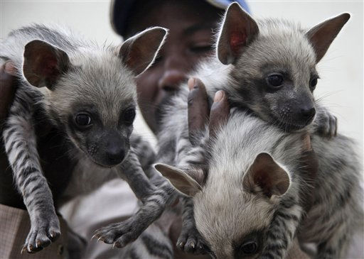 Godfrey Mutuku Jones, a caretaker at Kenya&#39;s Wildlife Service orphanage, holds three 41 day old striped Hyena cubs, in Nairobi, Kenya, Friday, April 15, 2011. The three striped hyena cubs were abandoned by their mother, and were brought to the orphanage where they are being cared for by the Kenya Wildlife Service in Nairobi National Park. &#40;AP Photo&#47;Sayyid Azim&#41; <span class=meta>(AP Photo&#47; Sayyid Azim)</span>