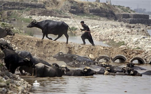 "<div class=""meta ""><span class=""caption-text "">A Gujjar, or cattle herding nomad, moves a buffalo on the banks of River Tawi in Jammu, India, on Friday, April 15, 2011. (AP Photo/Channi Anand) (AP Photo/ Channi Anand)</span></div>"