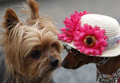 Yorkshire terrier Ryota, left, greets miniature pinscher Pin-chan during their encounter in Tokyo, Wednesday, May 4, 2011. &#40;AP Photo&#47;Shizuo Kambayashi&#41; <span class=meta>(AP Photo&#47; Shizuo Kambayashi)</span>