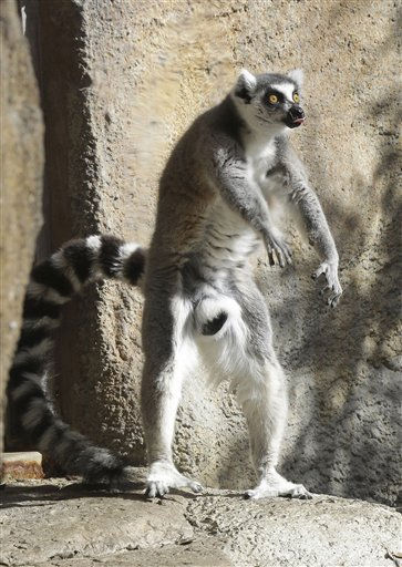 A ring-tailed lemur reacts as a keeper walks through his new enclosure at Taronga Zoo in Sydney, Australia, Friday, May 27, 2011.  The bachelor group of five rare primates were put on display for the first time on Friday after being transferred from another zoo in Dubbo. &#40;AP Photo&#47;Rob Griffith&#41; <span class=meta>(AP Photo&#47; Rob Griffith)</span>