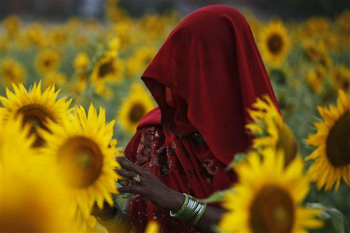 In this Monday, June 13, 2011 photo, an Indian woman works at a sunflower field at Kunwarpur village, about 70 kilometers &#40;44 miles&#41; east of Allahabad, India. Sunflower oil is a widely used cooking ingredient.&#40;AP Photo&#47;Rajesh Kumar Singh&#41; <span class=meta>(AP Photo&#47; Rajesh Kumar Singh)</span>