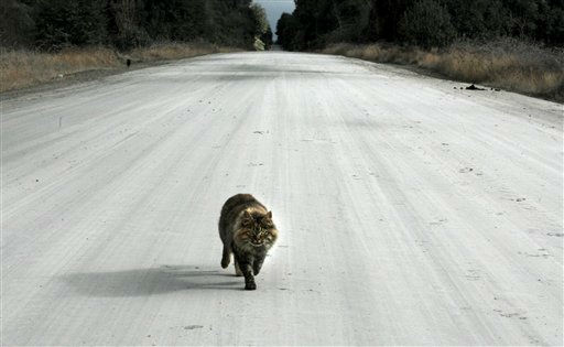 A cat walks along a road covered by volcanic ash from the Puyehue-Cordon Caulle volcano in Puyehue, Chile, Tuesday June 21, 2011. The Chilean government says the Puyehue-Cordon Caulle volcano in southern Chile that began erupting about two weeks ago is becoming less active. That will allow 4,000 people who were evacuated near the volcano to return home. &#40;AP Photo&#47;Alvaro Vidal&#41; <span class=meta>(AP Photo&#47; Alvaro Vidal)</span>