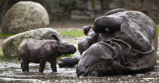 A new born Indian rhinoceros cub and its mother Betty take a bath in a mud hole at the Tierpark &#40;Animal Park&#41; Zoo in Berlin, Friday, Aug. 5, 2011. The yet unnamed rhinoceros cub was born on July 31 and presented to the public on Friday. &#40;Photo&#47;Markus Schreiber&#41; <span class=meta>(AP Photo&#47; Markus Schreiber)</span>