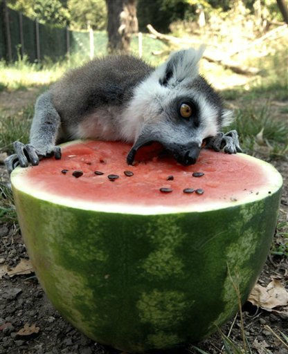 In this photo made available by Rome Bioparco Fundation, a lemur eats from a refrigerated watermelon to refresh itself in Rome&#39;s zoo, Tuesday, July, 12, 2011. Zoo staff offered animals frozen and refrigerated fruit to refresh them as temperatures reached 40 Celsius &#40;104 Farenheit&#41; in many Italian cities. &#40;AP Photo&#47;Rome Bioparco Fundation, HO&#41; EDITORIAL USE ONLY <span class=meta>(AP Photo&#47; Anonymous)</span>