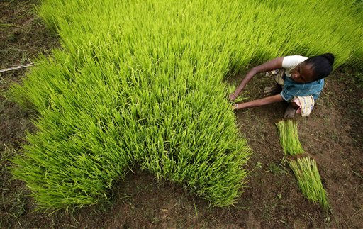 "<div class=""meta image-caption""><div class=""origin-logo origin-image ""><span></span></div><span class=""caption-text"">An Indian farmer pick up paddy saplings for planting in a rice paddy on the outskirts of Gauhati, India, Monday, July 18, 2011.The annual monsoon season from June to October brings rains that are vital to agriculture in India. (AP Photo/Anupam Nath) (AP Photo/ Anupam Nath)</span></div>"