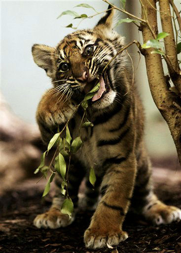 ARCHIV: Ein knapp zwoelf Wochen altes maennliches Sumatra-Tigerbaby &#40;Panthera tigris sumatrae&#41; spielt im Zoo in Frankfurt am Main &#40;Foto vom 19.07.11&#41;.  Der Cottbuser Tierpark will in den kommenden Jahren Sumatra-Tiger zuechten. Fuer die Zucht der vom Aussterben bedrohten Art soll das bereits vorhandene Raubtierhaus im kommenden Jahr umgebaut und vergroessert werden. &#40;zu dapd-Text&#41; Foto: Martin Oeser&#47;dapd <span class=meta>(Photo&#47;Martin Oeser)</span>
