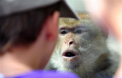 ARCHIV: Ein Berberaffe &#40;Macaca sylvanus&#41; betrachtet aus seinem Affengehege im Opel-Zoo in Kronberg einen Jungen durch eine Glastrennscheibe &#40;Foto vom 19.07.11&#41;. Die deutschen Zoos leiden unter dem Regenwetter. &#34;Der Juli war schlecht fuer die Besucherzahlen&#34;, sagte der Praesident des Verbands Deutscher Zoodirektoren, Thomas Kauffels, im dapd-Interview. &#40;zu dapd-Text&#41; Foto: Patrick Sinkel&#47;dapd <span class=meta>(Photo&#47;Patrick Sinkel)</span>