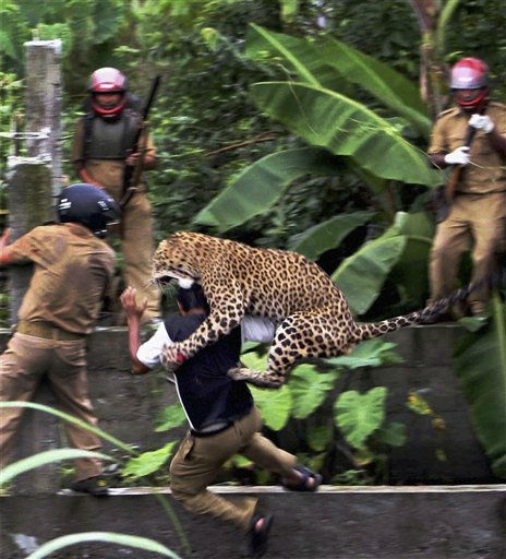 In this photo taken Tuesday, July 19, 2011, a leopard attacks a forest guard at Prakash Nagar village near Salugara, on the outskirts of Siliguri, India. The leopard strayed into the village area and mauled several villagers, including three guards, before being caught by forest officials, according to news reports. The leopard, which suffered injuries caused by knives and batons, died later in the evening at a veterinary center. The forest guard being attacked was injured. &#40;AP Photo&#41; INDIA OUT <span class=meta>(AP Photo&#47; Anonymous)</span>