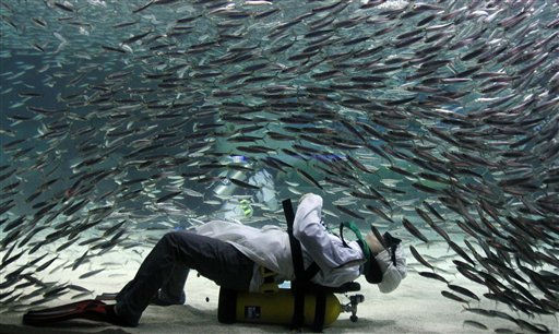 A diver wearing chef uniform performs with sardines as part of summer vacation events at an Coex Aquarium in Seoul, South Korea, Friday, July 22, 2011.  &#40;AP Photo&#47; Lee Jin-man&#41; <span class=meta>(AP Photo&#47; Lee Jin-man)</span>