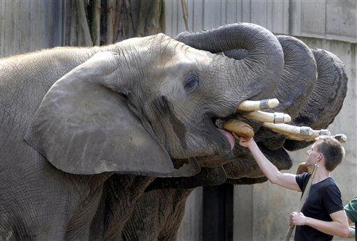 Ein Tierpfleger fuettert am Dienstag &#40;02.08.11&#41; in Dresden &#40;Sachsen&#41; im Zoo Elefanten &#40;Elephantidae&#41;. Der Dresdner Zoo hat am Dienstag seinen 500.000. Besucher in diesem Jahr begruesst. Fuer dieses Jahr rechnet der Zoo mit einem neuen Besucherrekord, weil bislang mehr Gaeste gezaehlt wurden als im Vorjahreszeitraum. 2010 waren 750.000 Menschen in den Tierpark gekommen. Das sei die hoechste Besucherzahl seit 1989 gewesen, hiess es. &#40;zu dapd-Text&#41; Foto: Matthias Rietschel&#47;dapd <span class=meta>(Photo&#47;Matthias Rietschel)</span>