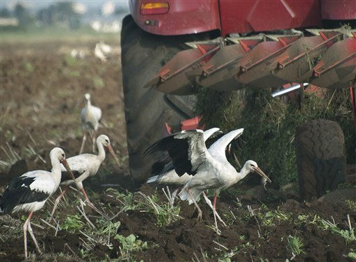 A stork holds a captured rat behind a tractor in Baicoi, Romania, Wednesday, Aug. 3, 2011. &#40;AP Photo&#47;Olimpiu Gheorghiu&#41; <span class=meta>(AP Photo&#47; Olimpiu Ghorghiu)</span>