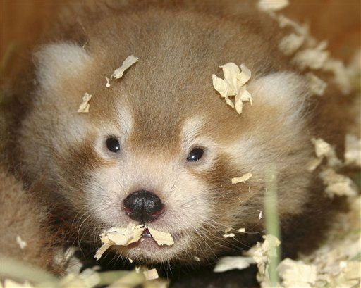 This Aug. 3, 2011 photo released by Zoo New England shows one of the red panda twins born July 4 at the Franklin Park Zoo in Boston.  The twins, one male and one female which are not yet named, are expected to be on public view by the end of October. Red pandas resemble raccoons but have white and red markings and are covered with dense fur. &#40;AP Photo&#47;Zoo New England, Rebecca King Clayman&#41;    MANDATORY CREDIT <span class=meta>(AP Photo&#47; Rebecca King Clayman)</span>