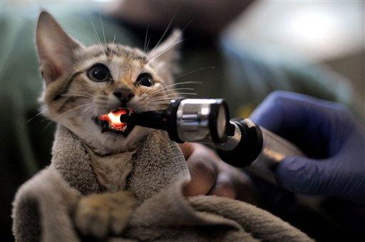 Ein von zwei namenlosen Oman-Falbkatzen &#40;Felis silvestris gordoni&#41; unterzieht sich am Donnerstag &#40;04.08.11&#41; in Wuppertal &#40;Nordrhein-Westfalen&#41; im Zoo ihrer ersten tieraerztlichen Untersuchung. Bei der Untersuchung wurde neben der ersten Impfung auch das Geschlecht der Katzen bestimmt. Damit ist es offiziell, dass es sich um eine Katze und einen Kater handelt. Foto: Sascha Schuermann&#47;dapd <span class=meta>(Photo&#47;Sascha Schuermann)</span>