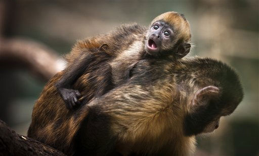 Das Gelbbrustkapuziner-Jungtier Pinu&#39;u haengt am Donnerstag &#40;11.08.11&#41; im Zoo in Koeln auf dem Ruecken seiner Mutter Ibama. Das Jungtier der stark bedrohten Affenart aus Brasilien Pinu&#39;u, was uebersetzt &#34;ich bin ich&#34; bedeutet, kam am 04 .Juli 2011 im Koelner Zoo zur Welt. Foto: Timur Emek&#47;dapd <span class=meta>(Photo&#47;Timur Emek)</span>