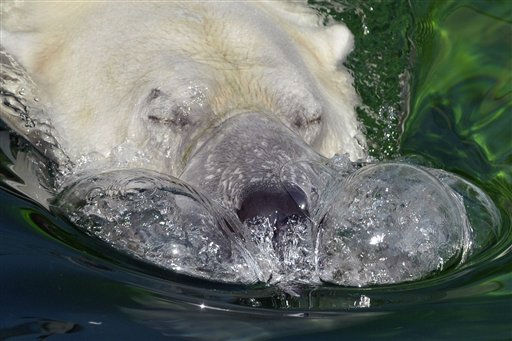 Budapest Zoo&#39;s 19 year-old polar bear &#40;Ursus maritimus&#41; Vitush blows bubbles as he swims in his pool as the temperature reached 38 degrees Celsius &#40;100 Fahrenheit&#41; in Budapest, Hungary, Wednesday, Aug. 24, 2011. &#40;AP Photo&#47;Bela Szandelszky&#41; <span class=meta>(AP Photo&#47; Bela Szandelszky)</span>