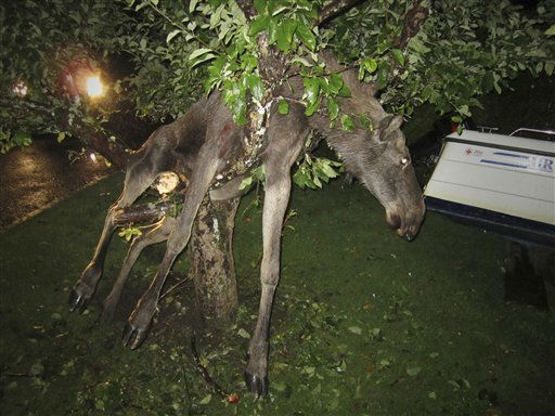 "<div class=""meta ""><span class=""caption-text "">A seemingly intoxicated moose is discovered entangled in an apple tree by a stunned Swede in Goteborg, Sweden late Tuesday Sept. 6 2011. Per Johansson, 45, says he heard a roar from his vacationing neighbor's garden in southwestern Sweden late Tuesday and went to have a look. There, he found a female moose kicking about in the tree. The animal was likely drunk from eating fermented apples. (AP Photo/Per Johansson)  SWEDEN OUT (AP Photo/ Per Johansson)</span></div>"